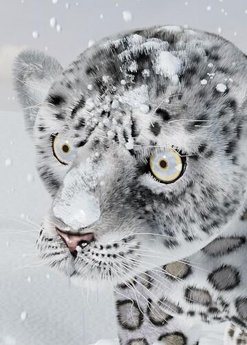MxD-SnowLeopardCub-cam1_crp1