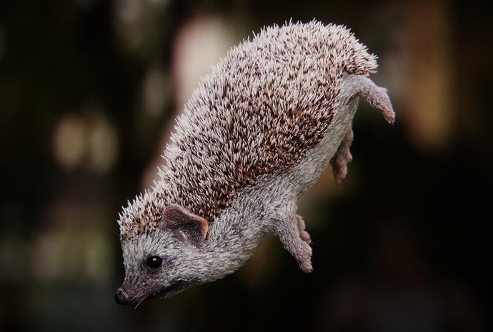 hedgehog_side_C