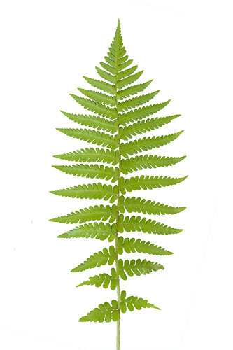 fern-leaf_diff