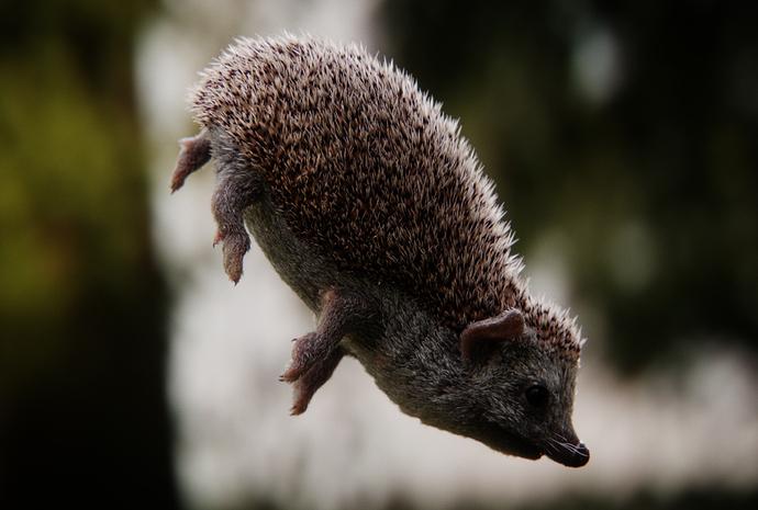 hedgehog_side_A
