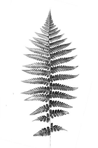 fern-leaf-rough