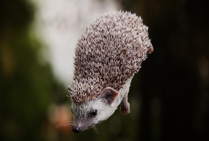 hedgehog_side_B