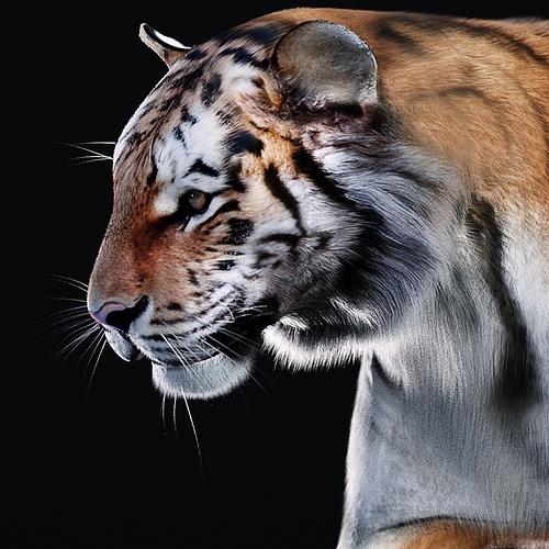tiger-crop