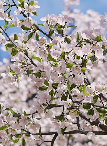 Malus_Hybridus_flowering_01_04