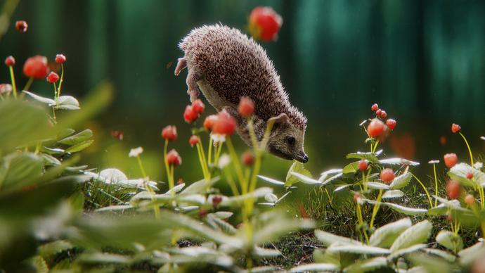 hedgehog_cropped