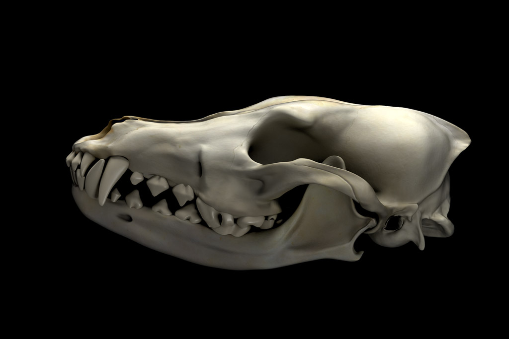 Coyote skull - Finished Projects - Blender Artists Community