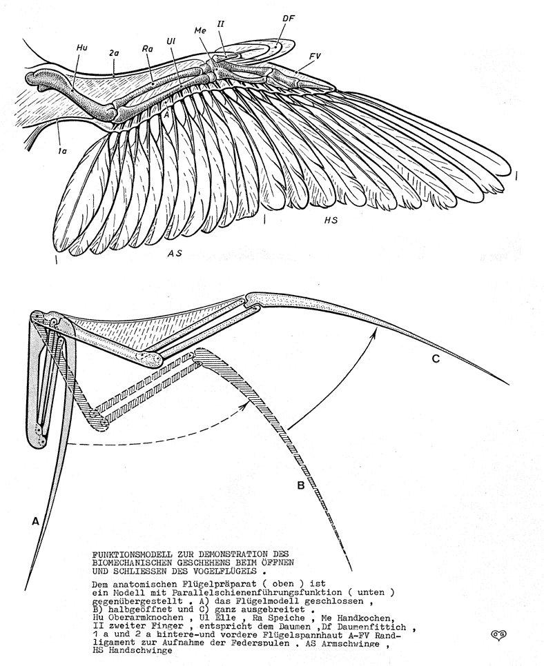 bird wings anatomy - 788×966