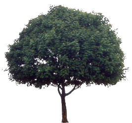 http://www.freewebs.com/warofmyas/Tree.png