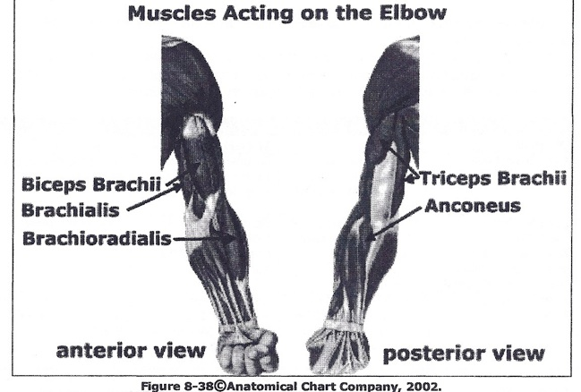 forearm-muscles