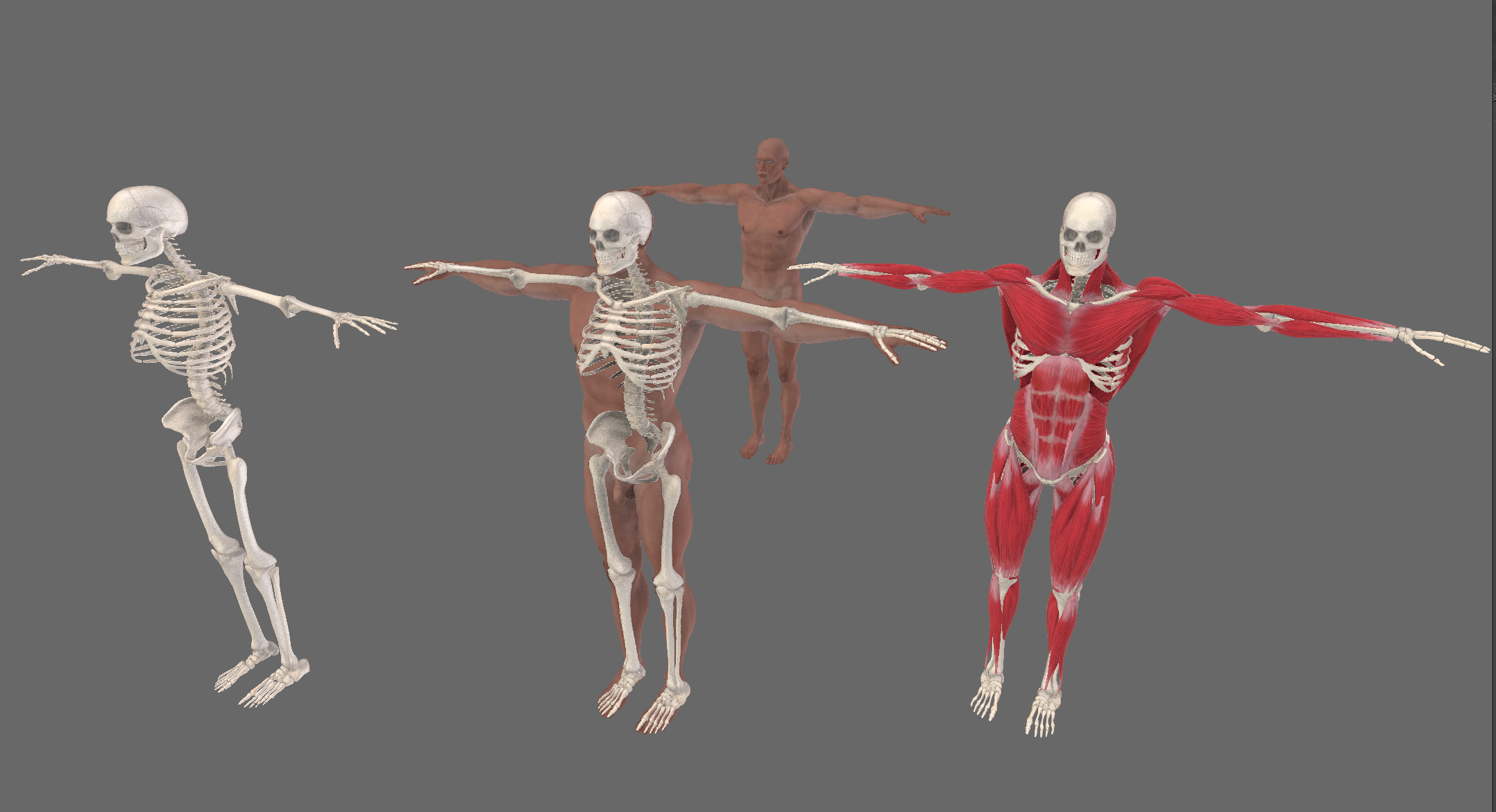Physically Based Muscle Simulation Works In Progress Blender