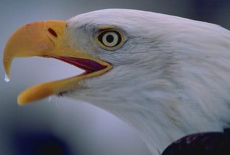 http://i639.photobucket.com/albums/uu116/Tisachris/EaglesideHead.jpg?t=1252332933