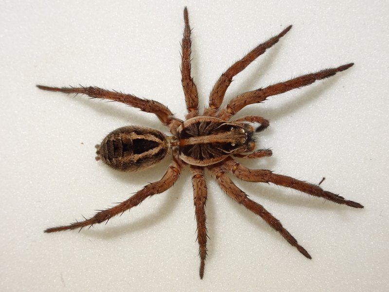 Wolf_spider_-__Allocosa_obscuroides.width-800.b29a27b